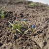 今日の農園-小松菜とほうれん草の様子-