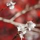 天徳院冬桜