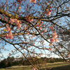 「八千代新川千本桜まつり」河津桜を見に行って行きました