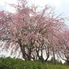 桜・さくら・しだれ桜・