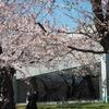 2021桜めぐり 咲き出しました。五稜郭公園(1)