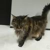 大きな猫メインクーンのフサボン 加齢による免疫力の低下で鼻炎が続く・・・