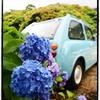 阿弥陀寺の紫陽花:1