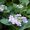 またまた紫陽花。。。