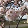 なぜか今年の桜はキレイ