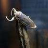 タガメLethocerus deyrollei