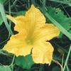 """畑からこんにちは! 0904  """"唐辛子とピーマンの花🌼…  """"  誰でも楽しめる家庭菜園!"""