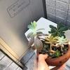 観葉植物日記:アデニウムとガジュマルと多肉植物