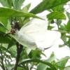 モンシロ蝶永遠に。