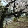 桜の「もえぎ野公園」