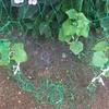 キュウリがうどんこ病に!?葉に白いカビ状の斑点が・・・