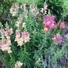 花壇に昨年こぼれた種から綺麗な花が咲いています。もうすぐ薔薇も。楽しみです。
