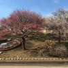 あけぼの山農業公園で梅を見てきた【千葉県柏市】