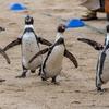 たくさんのペンギンを観察できる「長崎ペンギン水族館」