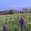 CDT グレーシャー国立公園の花たち