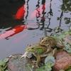 カエルの癒し度指数が高過ぎる件