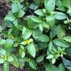 冬の気配を感じる庭には、アゲハの幼虫に食べつくされた柑橘の木々やヨレヨレオンブバッタが・・。