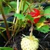 ストロベリームーンとイチゴ