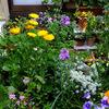 知らなかったぁ〜不思議なストック & わが家の青色系花たち