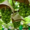 意外と古くからつくられていた?! ワイン酵母で醸す日本酒