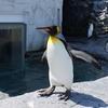 ペンギン@あさひやま動物園