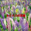 秘密の花園 阿久比 ルピナス花畑【東海ドライブ】