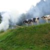 行儀の良い牛