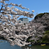 千鳥ヶ淵の桜見に行ってきた!