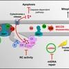 ALS、2型CMT関連遺伝子CDCDH10の機能解析 (EMBO Molecular Medicine 2015年12月14日号掲載論文)