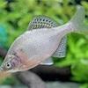 ゼニタナゴの特徴 外観・飼育・繁殖・釣り情報を詳しく解説!