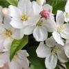 リンゴの花も咲いた!