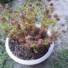 鉢植えが夏越しできないのではなく、私が悪かったんだ~