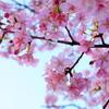 #0222 家族で散歩、桜が綺麗でした。