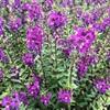 アンゲロニア セレニータの花