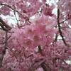 しだれ桜の下