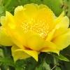 露地栽培のウチワサボテンの花