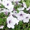 ペチュニア(Petunia)