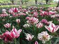 【チューリップ】【菜の花】【ネモフィラ】春の色に彩られた昭和記念公園