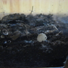 ヤコウタケ栽培、今年は成長速度がのんびりです