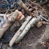 細めの木 カブトの幼虫 Thin branch