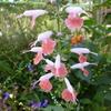 「まつこの庭」・サルビアコレクション