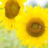【夏風景】ひまわり畑ではしゃいだ、とある夏の日。