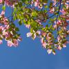 初夏が似合う花、ハナミズキ