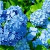 梅雨の紫陽花✨