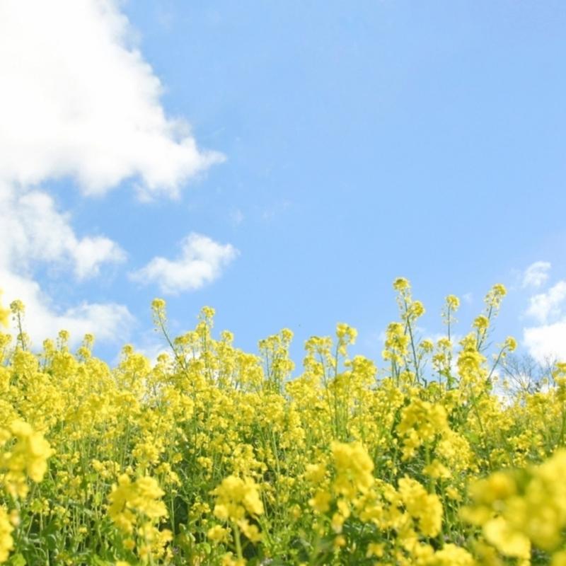 今年初開園!春風そよぐ黄色い絨毯 at 京都かめおか 菜の花畑