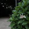もう紫陽花の季節 - 靭公園