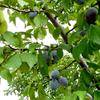 白根の果樹農家