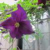 クレマチスのこの深い紫