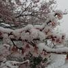 桜雨…ならぬ雪桜
