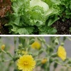 """レタス2(タンポポ類縁の植物3) 日本で多く食べられているレタス(クリスプヘッドレタス)""""は,アメリカで品種改良されたもので,1965年以降,日本の食卓に欠かせないものとなりました.サラダ菜なども含めた和名の総称""""チシャ""""の歴史は古く,日本に入ってきたのは平安時代.原産地は地中海で,栽培は紀元前2700年頃エジプト.一般の食用に加え,男性への強壮効果があると信じられていたようです."""